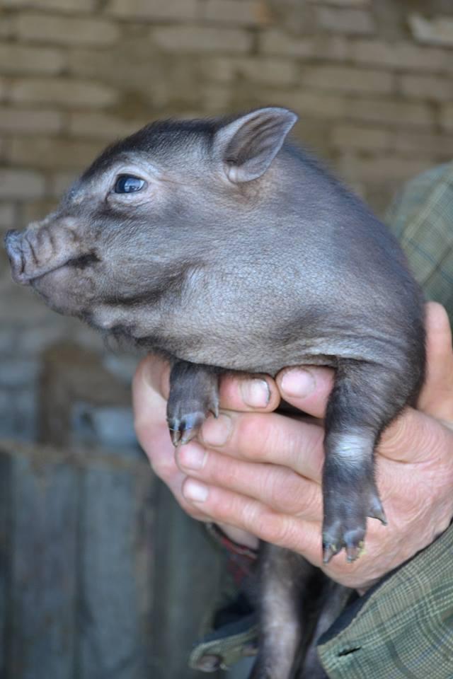 05.02 свиньи (1)