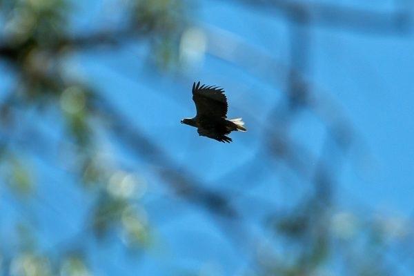Фотофакт: На Хортице заметили хищную птицу Фото № 4