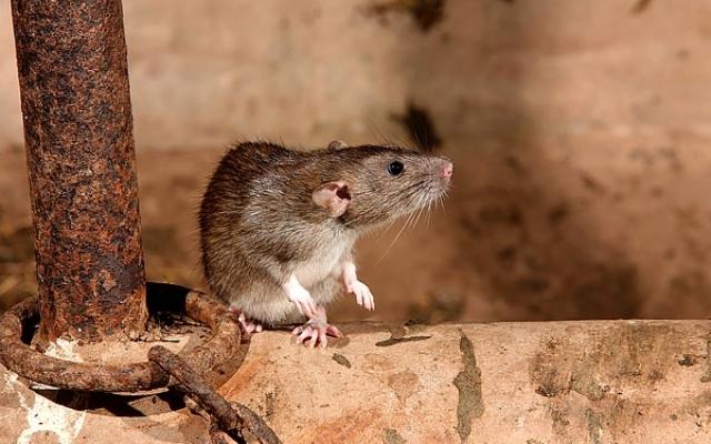 В Запорожье жителей многоэтажки беспокоят огромные крысы Фото № 0