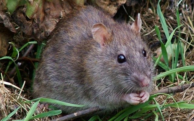 На запорожском проспекте бегала белая крыса (ВИДЕО) Фото № 0